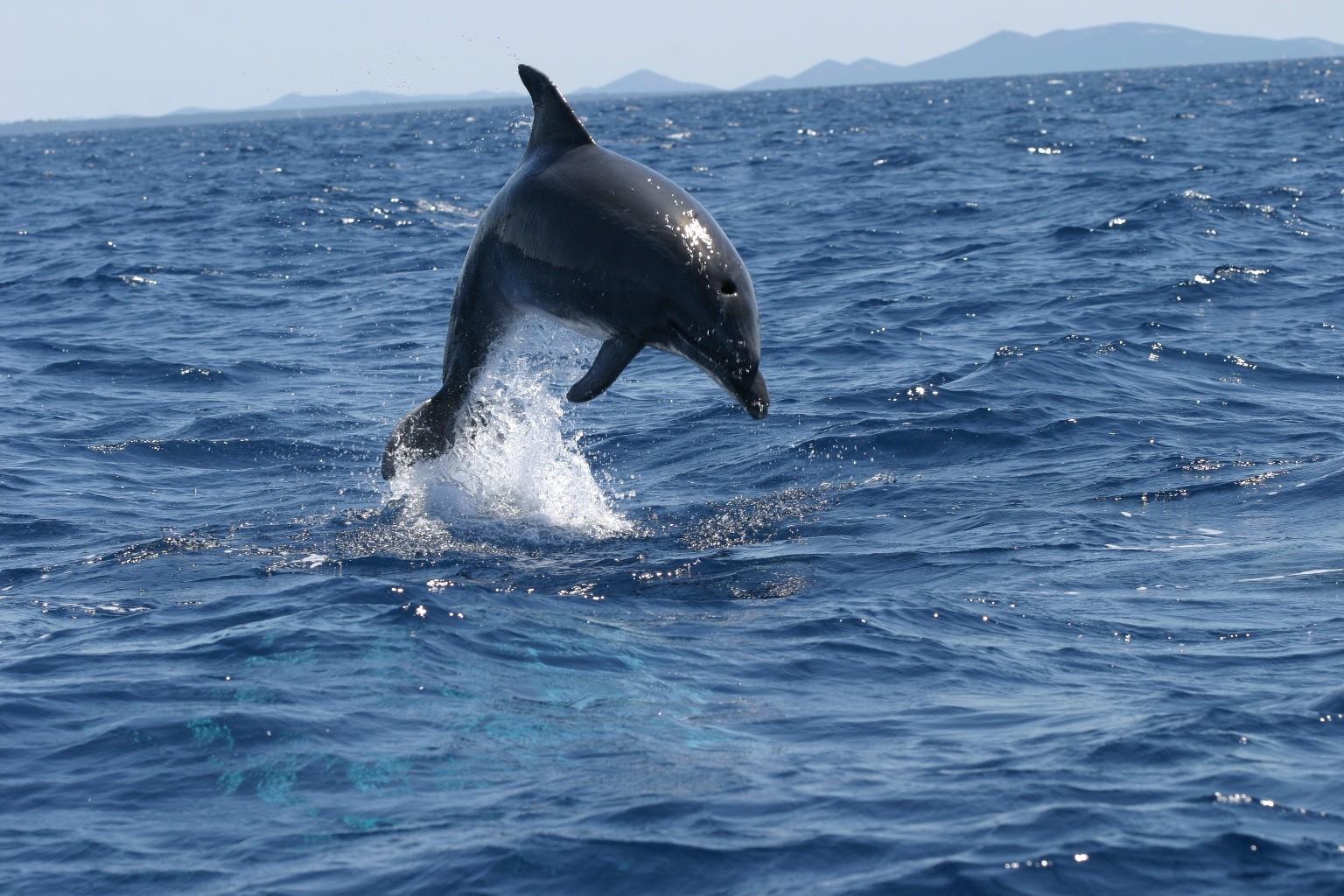 Adriatic dolphin