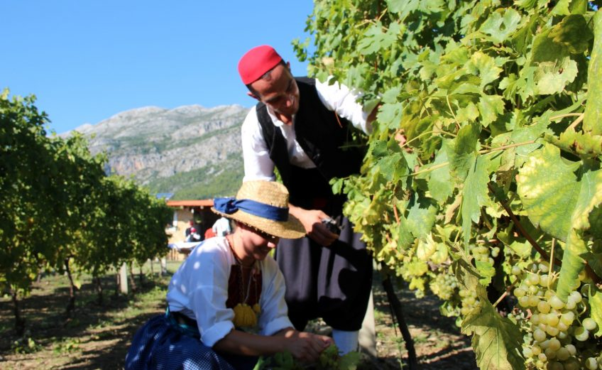 konavle grapes
