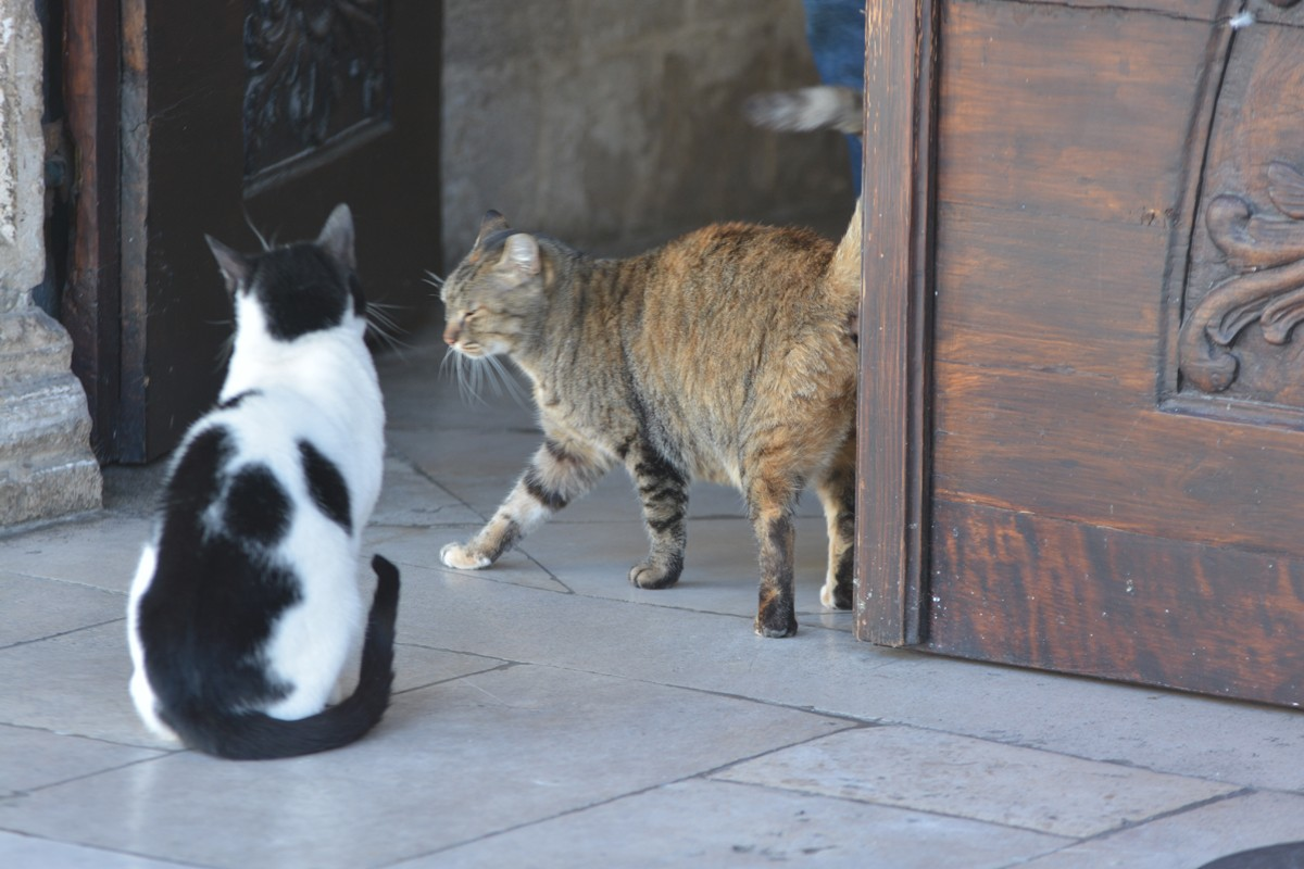 Stray Cats of Dubrovnik (3)