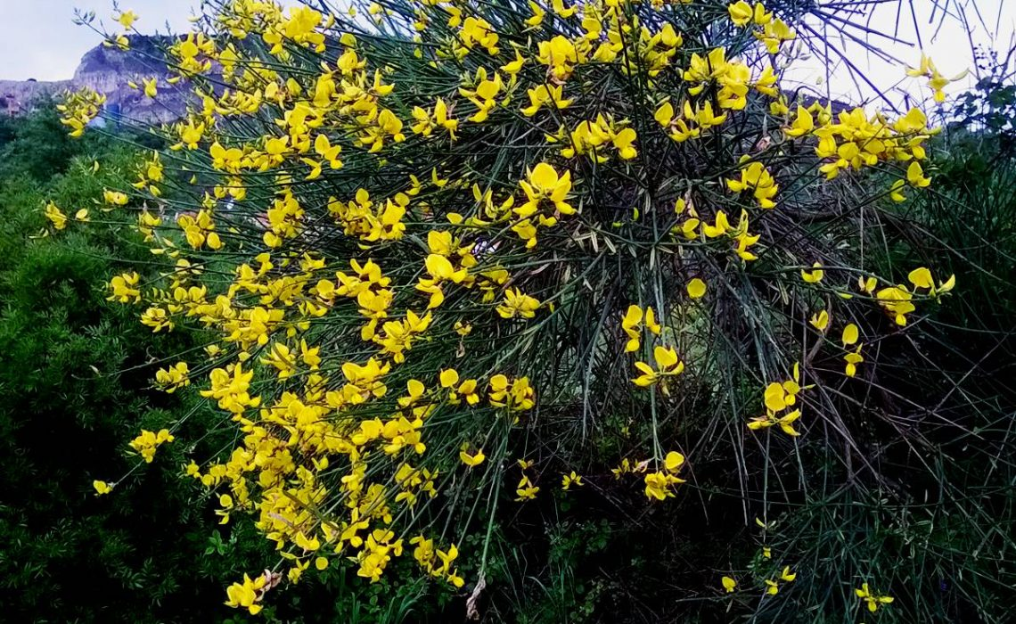 Waves Of Yellow Flowers Spanish Broom Or Simply Uka Just Dubrovnik