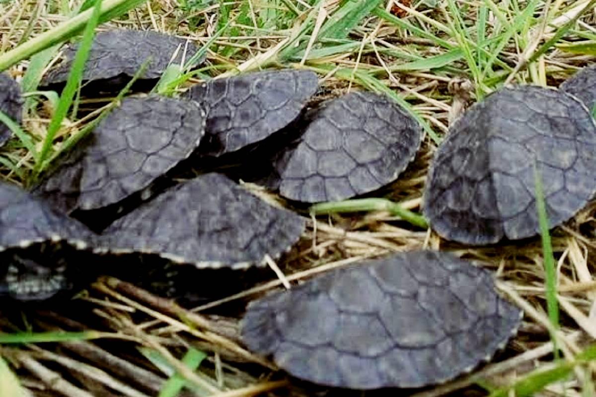 pond-turtle-01