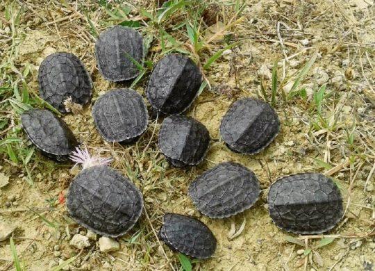 pond-turtle